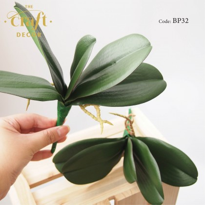 Butterfly Orchid Leaf With Roots